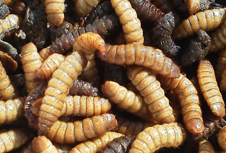 black soldier fly larvae - maggots in compost