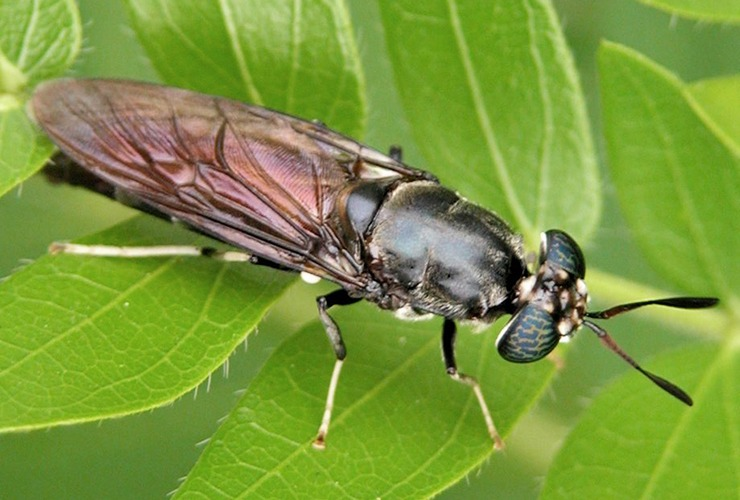 black soldier fly, known as BSF, is responsible for the maggots in compost bins