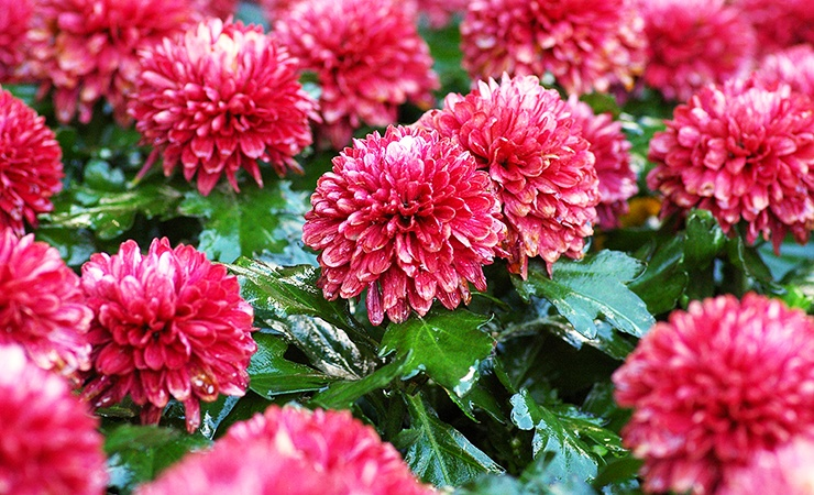 chrysanthemums are a plant that ticks hate