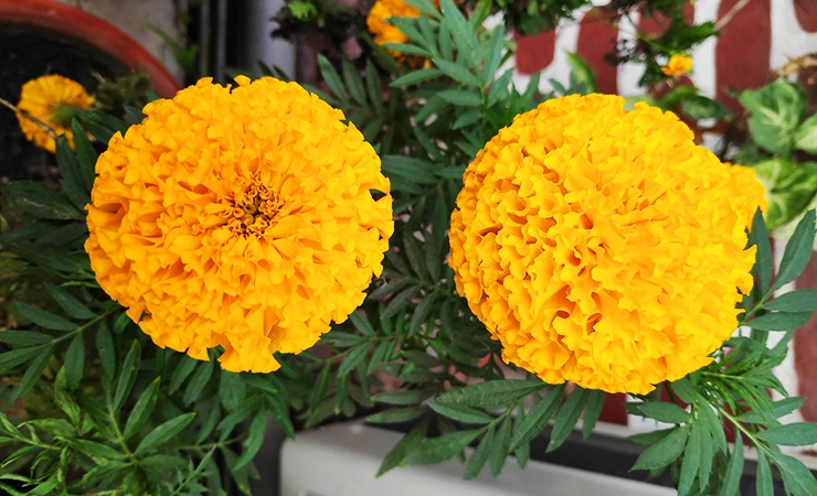 marigolds are beautiful to us but ugly to spiders