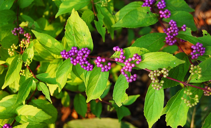 plants that repel ticks include beautyberry