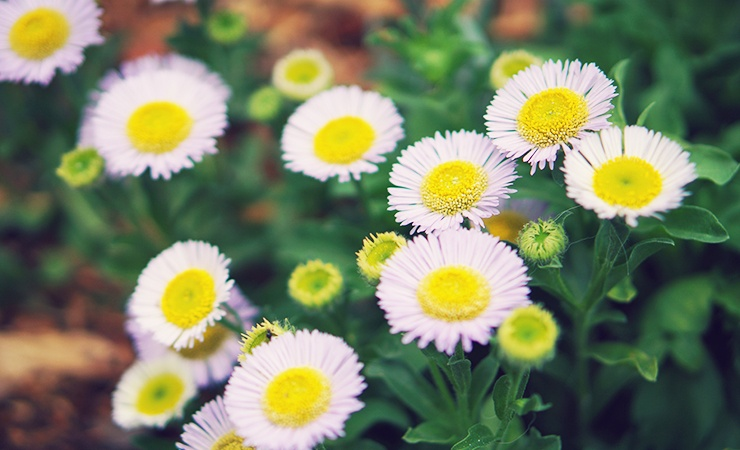 fleabane daisy is a plant that deters ticks