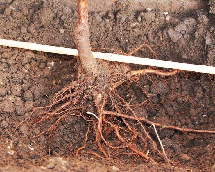 fruit tree rootstock planting just below soil