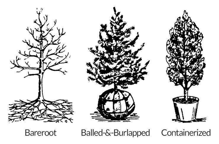 planting fruit trees by bareroot, balled and burlapped, and containerized