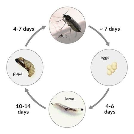 fungus gnat life cycle
