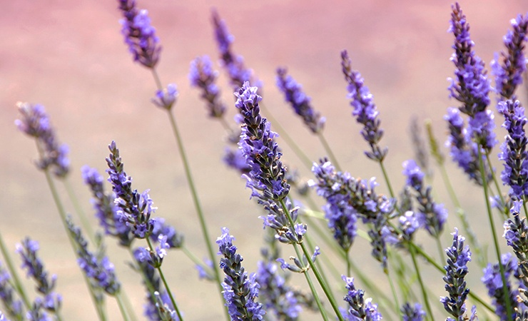what plants repel ticks? lavender does!