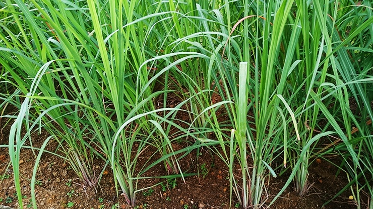 citronella plants and lemongrass have citronella oil and acids that repel spiders