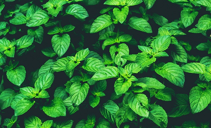 mint drives mosquitos away due to its odor which humans enjoy but insects do not