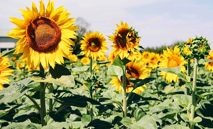 sunflower seeds have an oil that ticks find disgusting