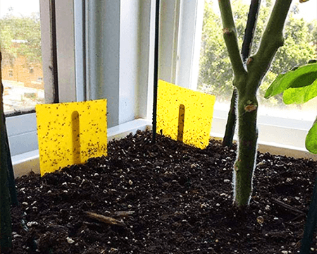 yellow sticky card traps for getting rid of fungus gnats