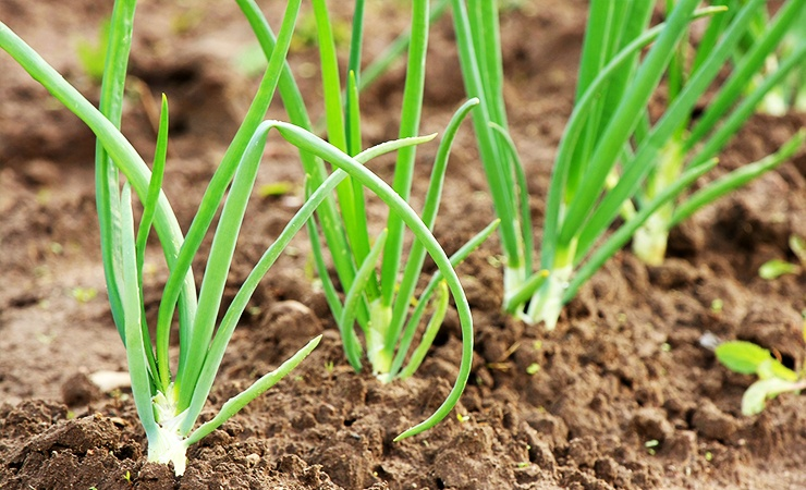 onions keep spiders away from the other vegetables in your garden