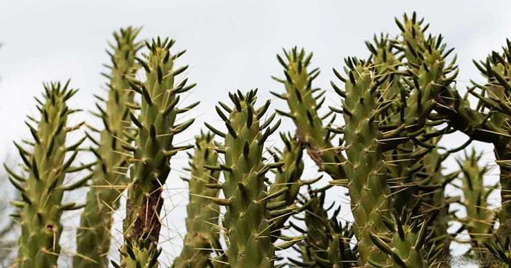 Eve's Pin Cactus