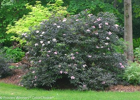 elderberry bush care