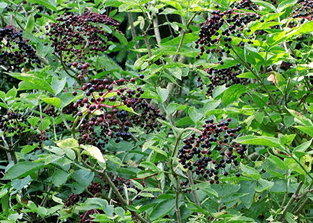 elderberry care