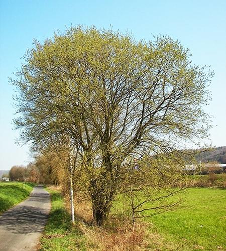goat willow tree