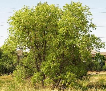 peach-leaf willow tree
