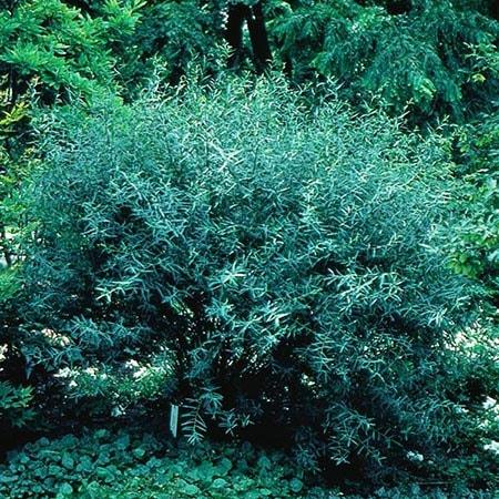 purple osier willow tree