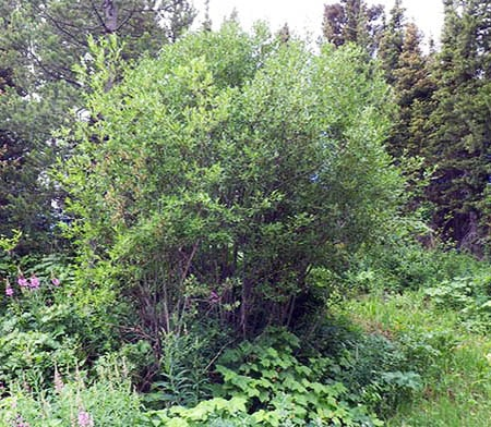 scouler's willow tree