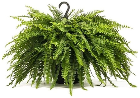 boston ferns are very common fern types in the western hemisphere