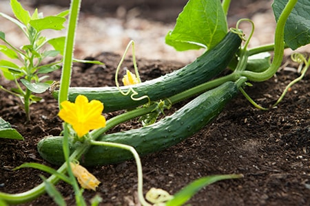 cucumbers are often grown in vertical gardening because they are, in fact, vine vegetables
