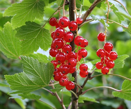 currants are among the most popular of the edible berry plants especially in Europe