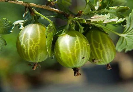 gooseberries are one of the most versatile types of edible berry bushes out there