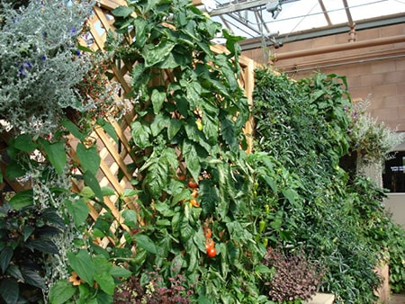 You can also grow your climber vegetables on a lattice fence to further improve your privacy