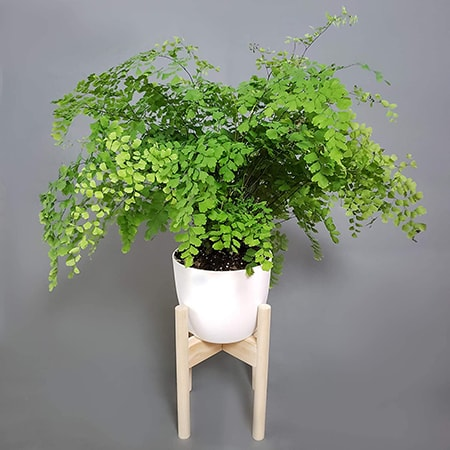 of the types of outdoor ferns, the maidenhair fern is evergreen but needs well-drained but moist soil constantly