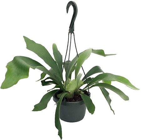 staghorn fern varieties are also mainly found in Australia