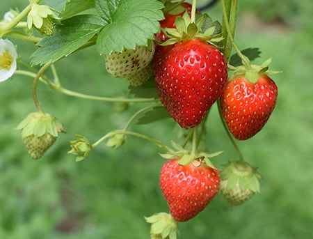 strawberries are fantastically sweet berries with a wonderful flavor used in all types of dishes and drinks