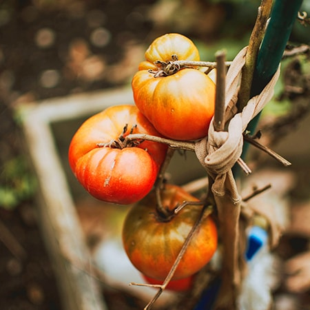 tomatoes are the quintessential climber vegetables