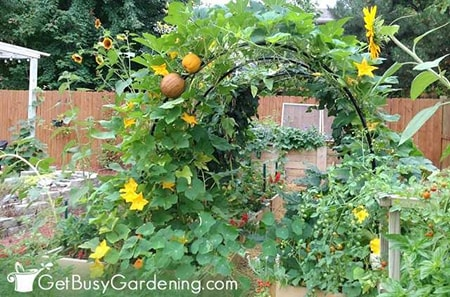 trellis vertical gardening is perfect for heavier climbing vegetables