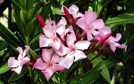 Nerium Oleander is one of the most visually attractive of the poisonous flowers