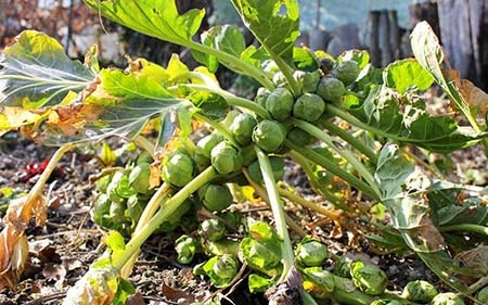 What Do Brussels Sprouts Look Like?