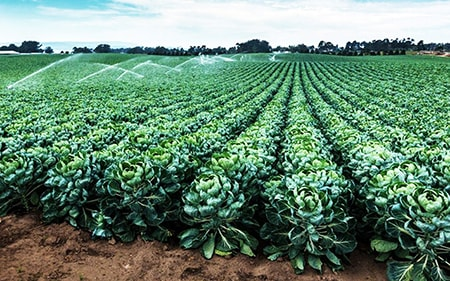 When to Plant Brussels Sprouts