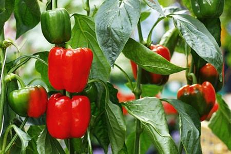 bell pepper plant care