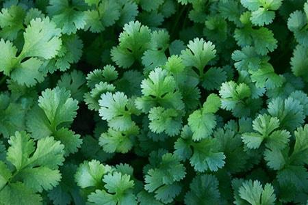 cilantro plant care