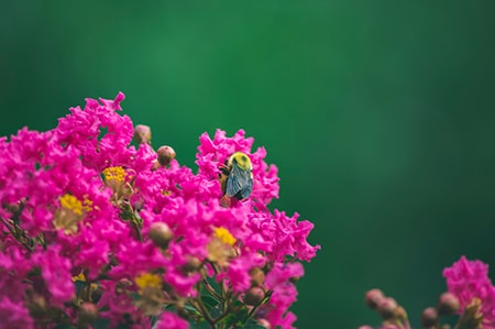 pruning your crepe myrtle back helps prevent health problems, over-growth, and disease and pests