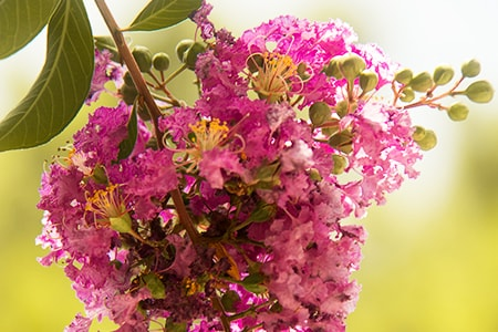don't prune your crepe myrtle bush incredibly short because it damages future growth, shape, and health