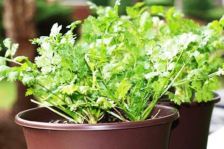 how to plant cilantro
