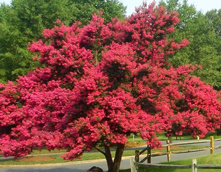 how to prune crepe myrtle like a pro to rein in the wild growth and make it beautiful in your yard or garden
