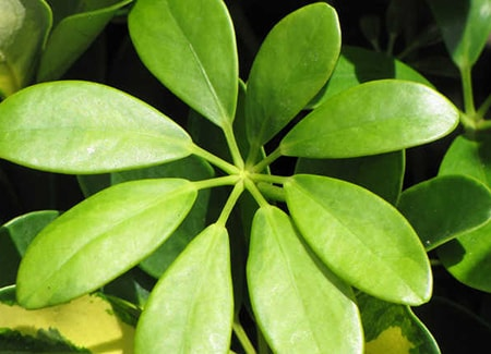 lush green dwarf umbrella tree leaves