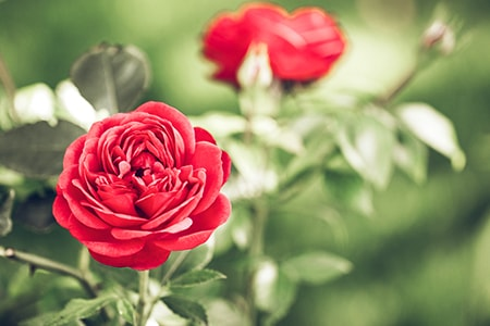 tips for how to prune roses