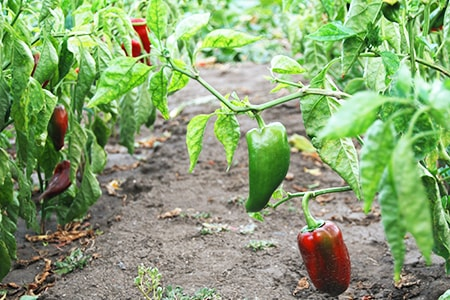 when to plant bell peppers