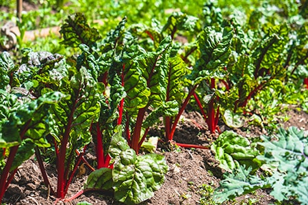 when to plant rhubarb