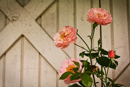 why pruning roses is important