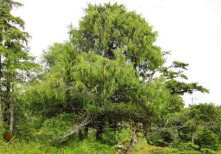 the alaskan yellow cedar tree