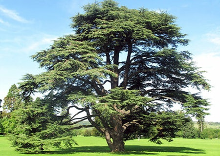 the atlas cedar tree varieties are majestic and grow up to 60 feet tall