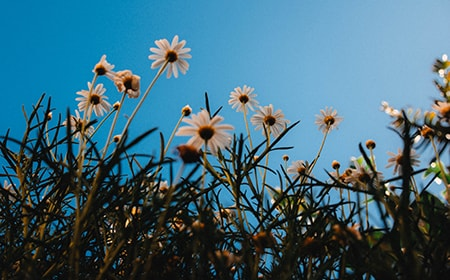benefits of a chamomile lawn