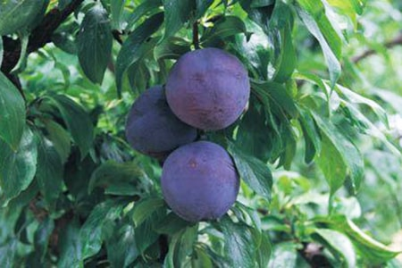 black beauty plum is a variety of japanese plums